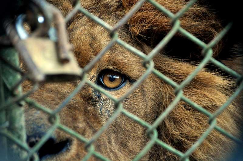 Zoológicos: cárceles para animales